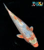 "7.25"" GINRIN GOROMO - Koi To The World - 3"