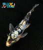 "6.5"" GINRIN KUMONRYU BUTTERFLY - Koi To The World - 3"