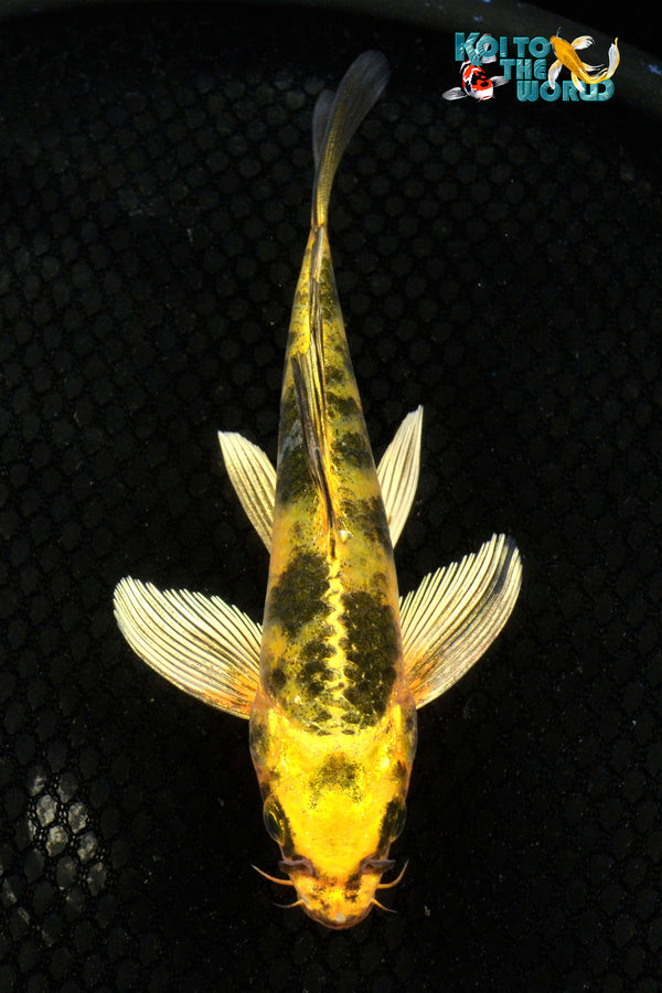 "6.25"" KIN KI UTSURI BUTTERFLY - Koi To The World - 1"