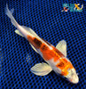 "8"" METALLIC GOROMO BUTTERFLY - Koi To The World - 2"