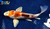"8"" METALLIC GOROMO BUTTERFLY - Koi To The World - 3"
