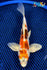 "8"" METALLIC GOROMO BUTTERFLY - Koi To The World - 1"