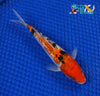 "6"" GINRIN SANKE - Koi To The World - 4"