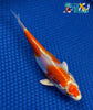 "6.75"" KIKUSUI - Koi To The World - 3"