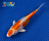 "6.75"" KIKUSUI - Koi To The World - 5"