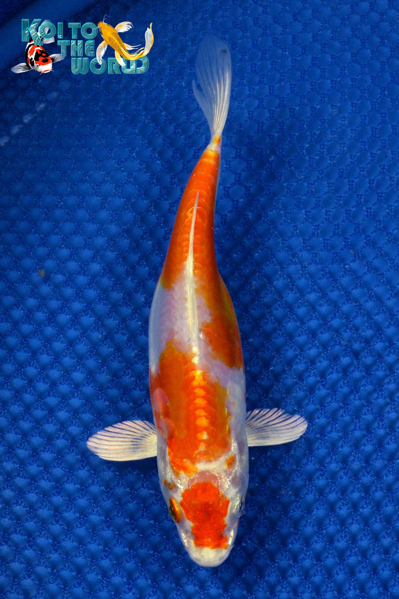 "6.75"" KIKUSUI - Koi To The World - 1"