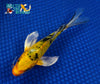 "6.25"" KI BEKKO BUTTERFLY - Koi To The World - 3"