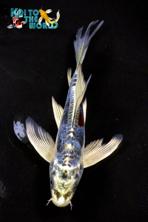 "7.25"" KIN KIKOKURYU BUTTERFLY - Koi To The World - 1"