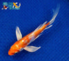 "6.75"" KIKUSUI BUTTERFLY - Koi To The World - 3"