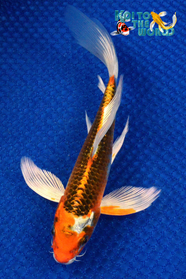 "7"" KUJAKU BUTTERFLY - Koi To The World - 1"