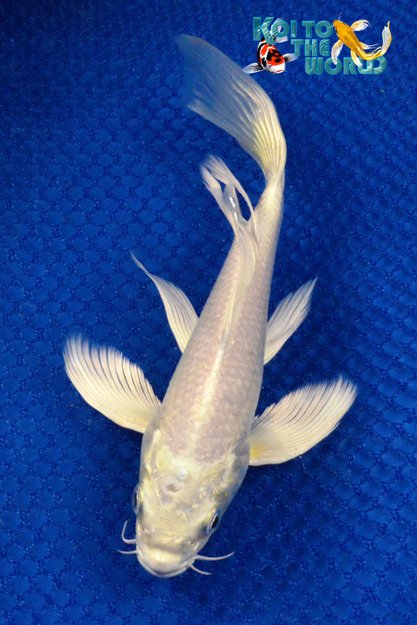 "7.25"" PLATINUM OGON BUTTERFLY - Koi To The World - 1"