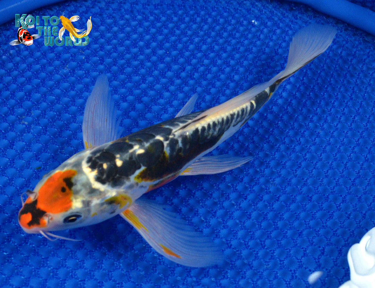 "6.75"" BENI KUMONRYU BUTTERFLY - Koi To The World - 1"