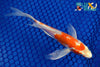 "6.25"" KIKUSUI BUTTERFLY - Koi To The World - 4"