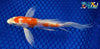 "6.25"" KIKUSUI BUTTERFLY - Koi To The World - 5"