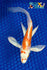 "6.75"" KIKUSUI BUTTERFLY - Koi To The World - 1"