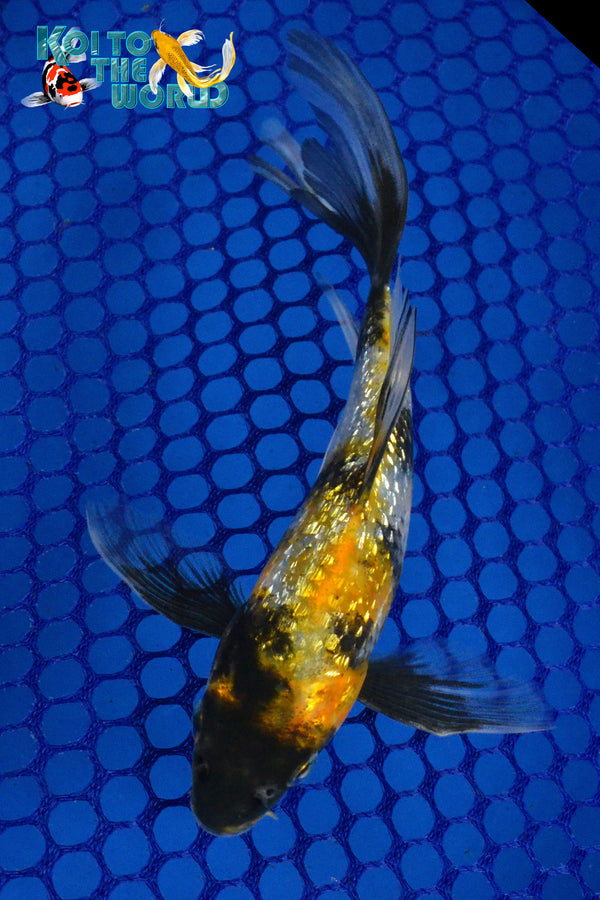 "6"" GINRIN SHOWA BUTTERFLY - Koi To The World - 1"