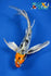 "8.5"" HEISEI NISHIKI BUTTERFLY - Koi To The World - 1"