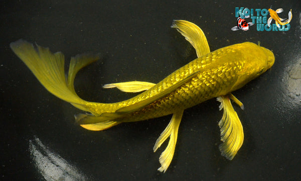 8 5 ginrin gold dust chagoi butterfly koi to the world for Gold koi for sale