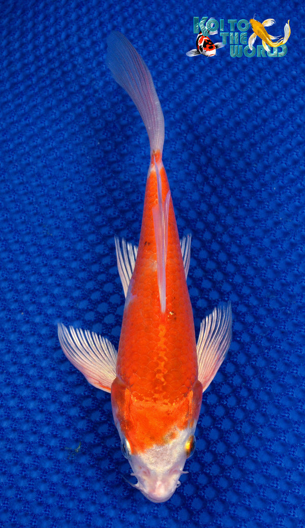 "6.75"" HARIWAKE BUTTERFLY 10261 - Koi To The World - 1"