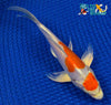 "6.75"" KIKUSUI BUTTERFLY - Koi To The World - 4"