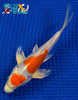 "6.75"" KIKUSUI BUTTERFLY - Koi To The World - 5"