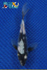 "6"" SHIRO UTSURI BUTTERFLY - Koi To The World - 1"