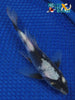 "6"" SHIRO UTSURI BUTTERFLY - Koi To The World - 5"