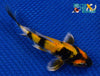 "6"" SHOWA BUTTERFLY - Koi To The World - 3"