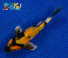 "6"" SHOWA BUTTERFLY - Koi To The World - 2"