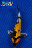 "6"" SHOWA BUTTERFLY - Koi To The World - 1"