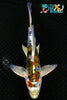 "6.5"" KIN KIKOKURYU BUTTERFLY - Koi To The World - 1"