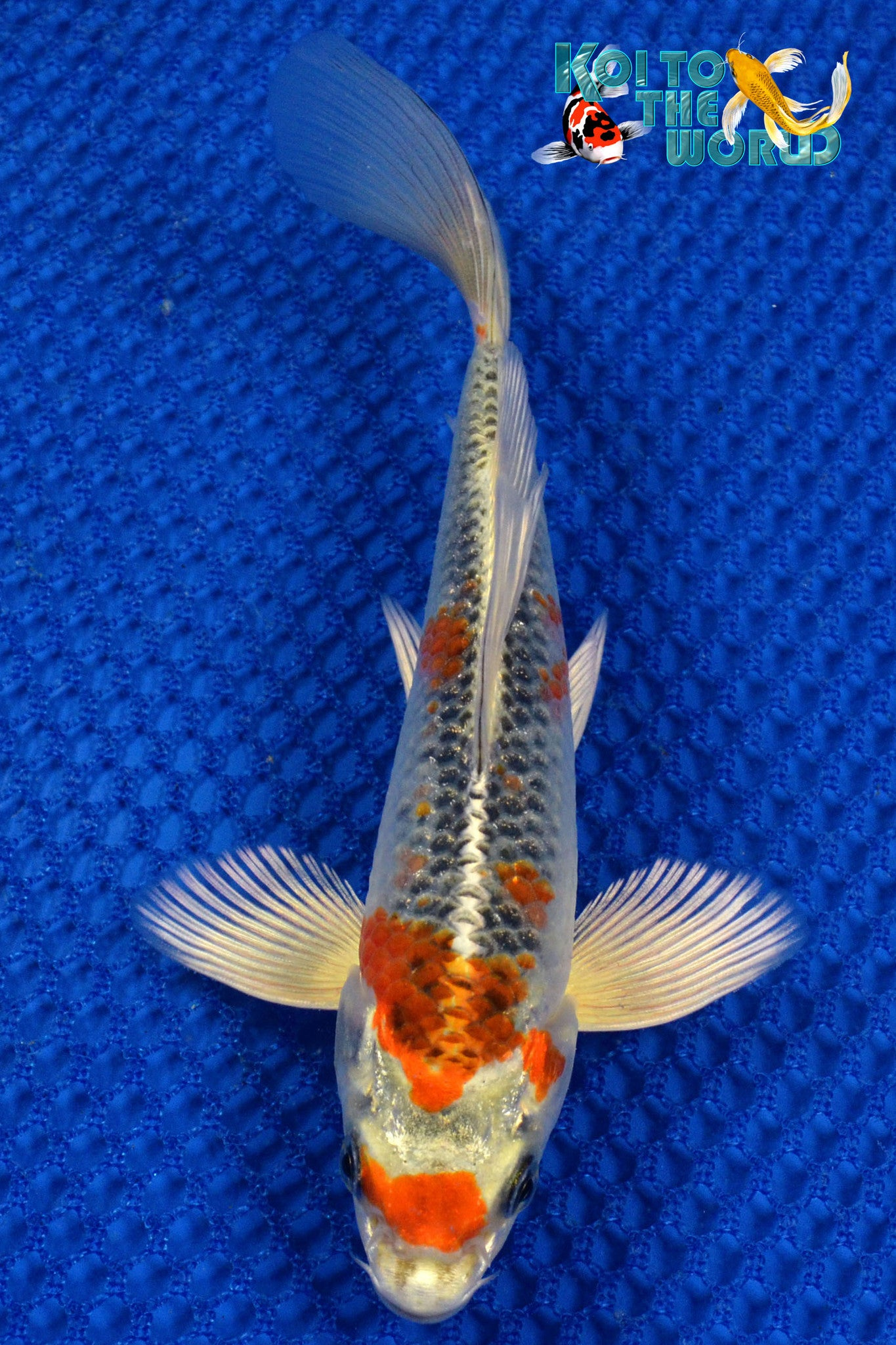 "6.25"" KUJAKU BUTTERFLY - Koi To The World - 1"