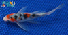 "6.5"" SANKE BUTTERFLY - Koi To The World - 2"