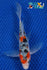 "6.5"" SANKE BUTTERFLY - Koi To The World - 1"