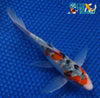 "6.5"" SANKE BUTTERFLY - Koi To The World - 5"