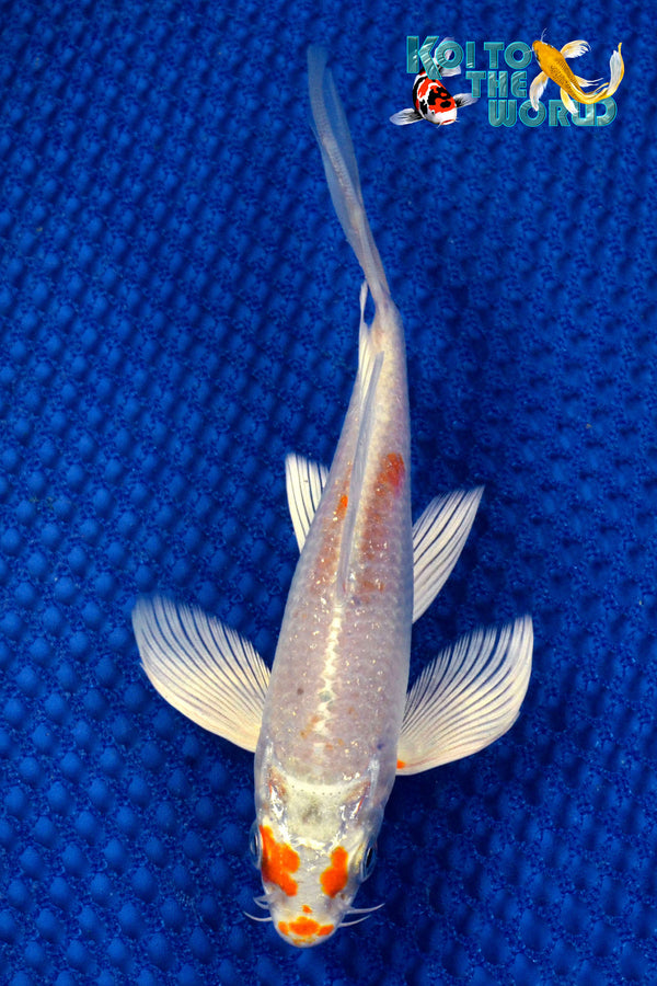 "6"" HARIWAKE BUTTERFLY - Koi To The World - 1"