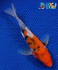 "7"" DOITSU SANKE BUTTERFLY - Koi To The World - 5"