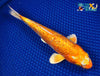 "7.75"" GINRIN HARIWAKE - Koi To The World - 5"