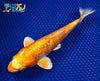 "7.75"" GINRIN HARIWAKE - Koi To The World - 2"