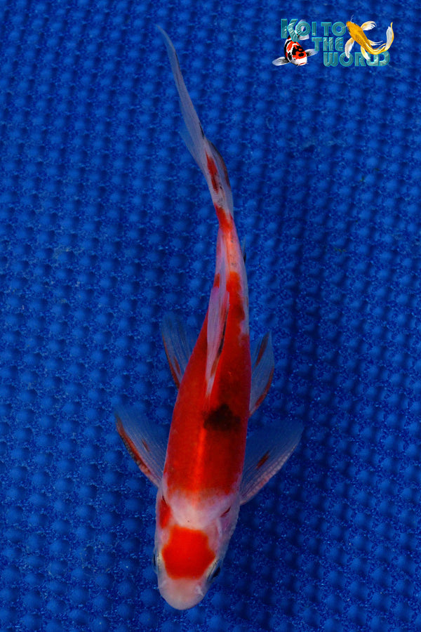 "6"" SARASA COMET - Koi To The World - 1"
