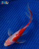 "6.5"" SARASA COMET - Koi To The World - 2"