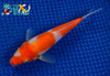 "6"" KOHAKU - Koi To The World - 2"