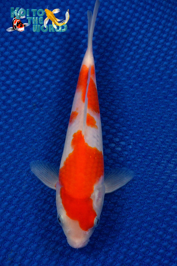 "7.25"" KOHAKU - Koi To The World - 1"
