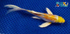 "6.75"" HARIWAKE BUTTERFLY - Koi To The World - 3"