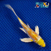 "6.75"" HARIWAKE BUTTERFLY - Koi To The World - 5"