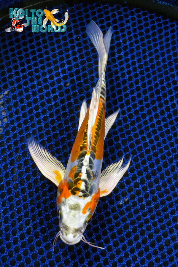 "7.5"" BENI KIKOKURYU BUTTERFLY - Koi To The World - 1"
