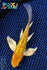 "6.75"" GINRIN HARIWAKE BUTTERFLY - Koi To The World - 1"