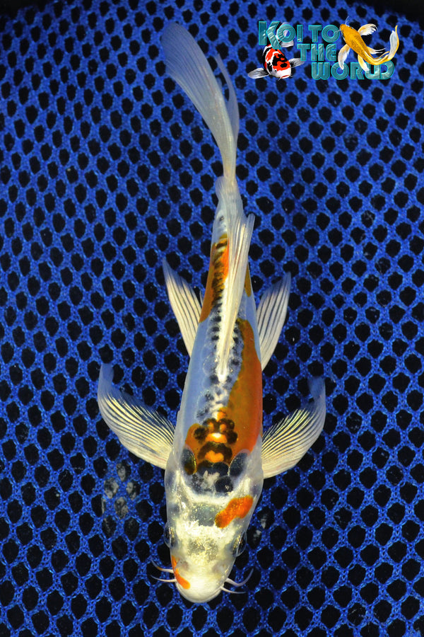 "6.25"" DOITSU BLUE KUJAKU BUTTERFLY - Koi To The World - 1"