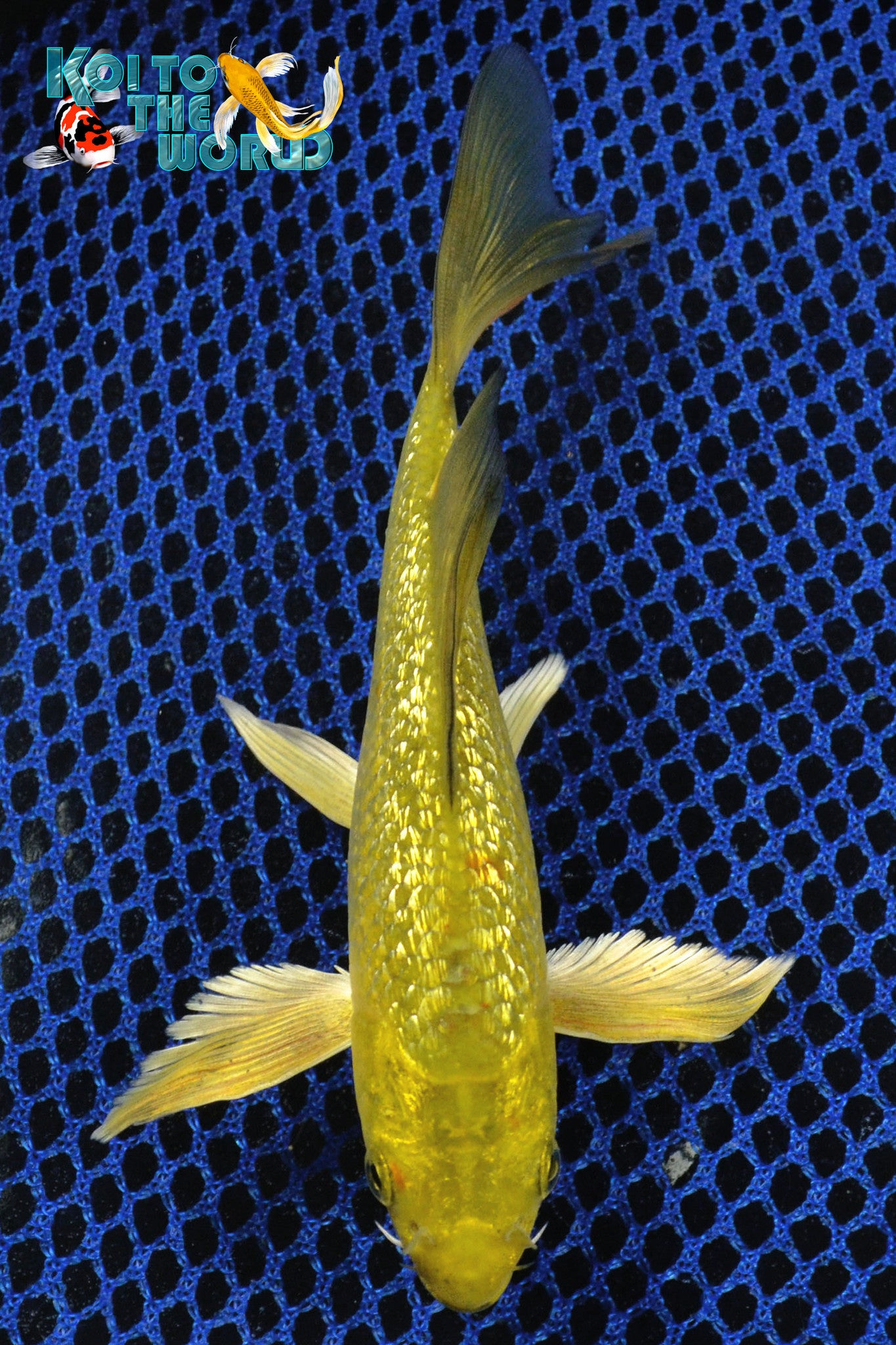 "6.5"" GINRIN GOLD DUST CHAGOI BUTTERFLY - Koi To The World - 1"