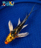 "7.25"" HEISEI NISHIKI BUTTERFLY - Koi To The World - 3"